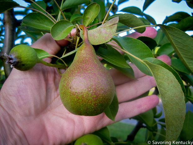 Baby neighborhood pear