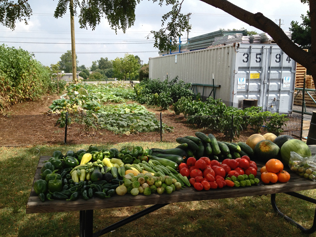 Company garden harvest at Big Fans, Lexington, Kentucky