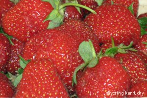 Ripe Kentucky Strawberries