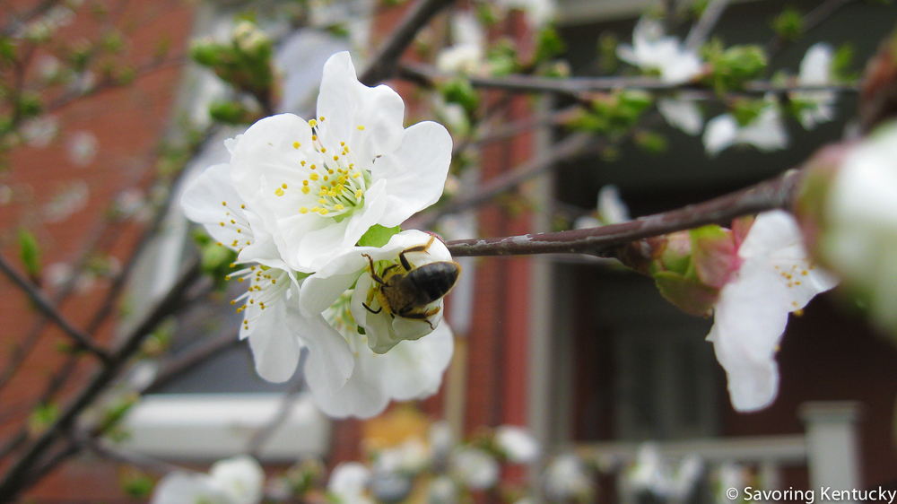A priceless honeybee pollinates our three-year old Montmorency Cherry tree.