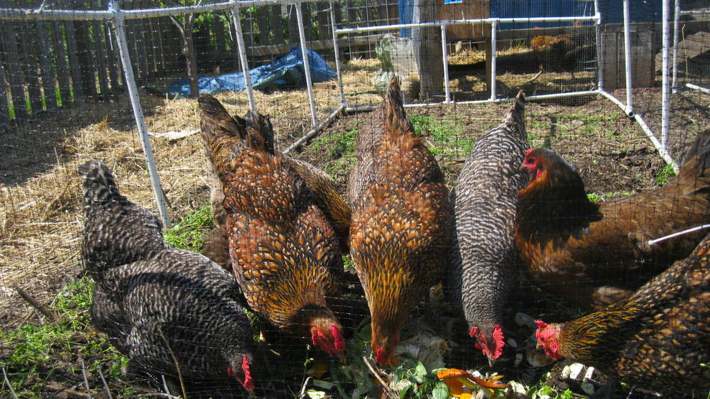 Fourth Street farm hens