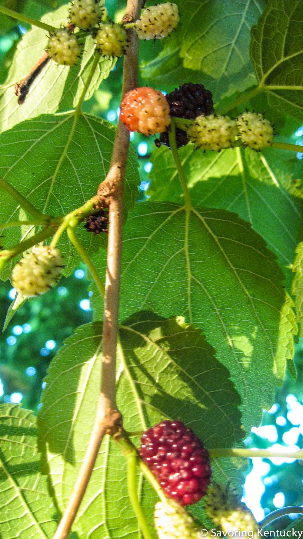 mulberry-4.jpg