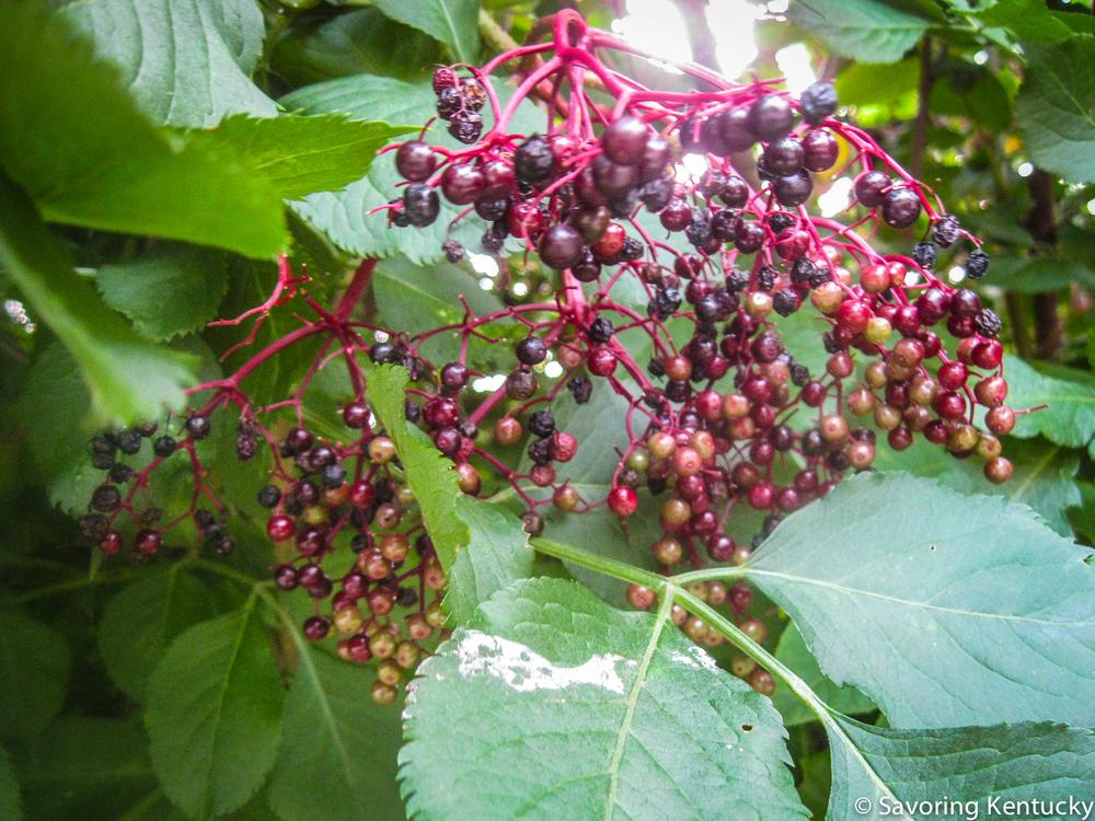 elderberries-3.jpg