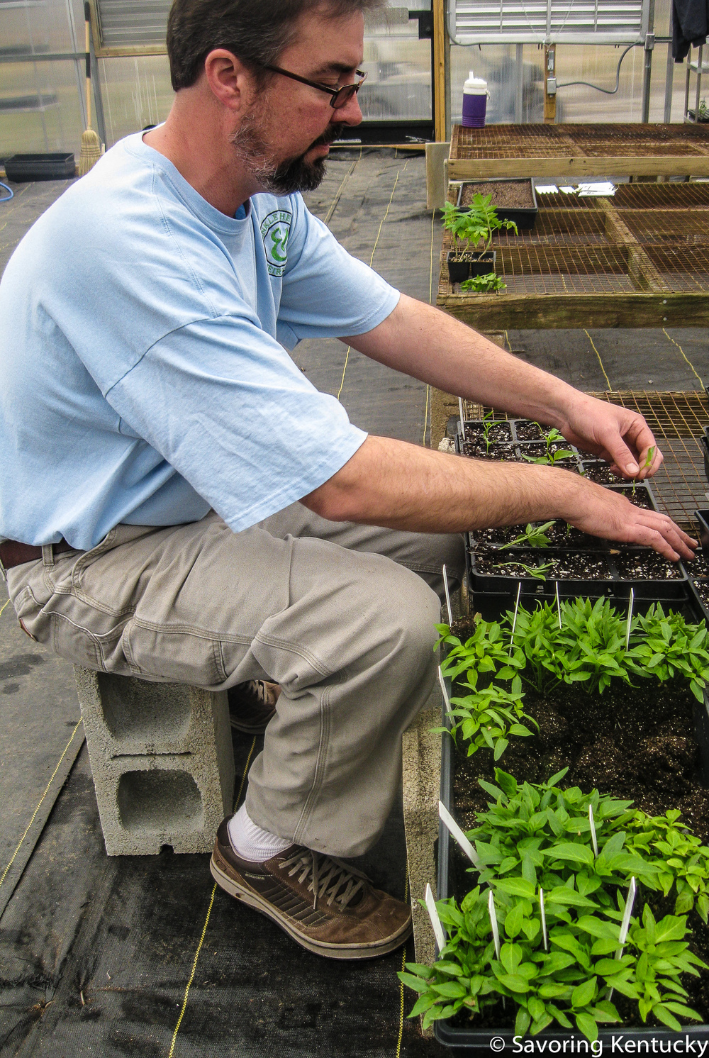 Mark Henkle transplants pepper seedlings—dozens per minute!