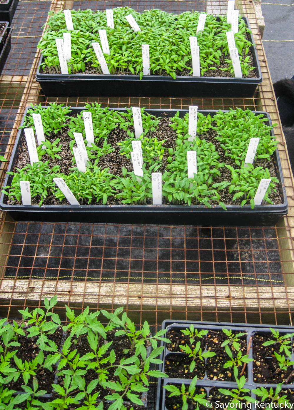 Seedlings at Henkle's Herbs & Heirlooms, March, 2014