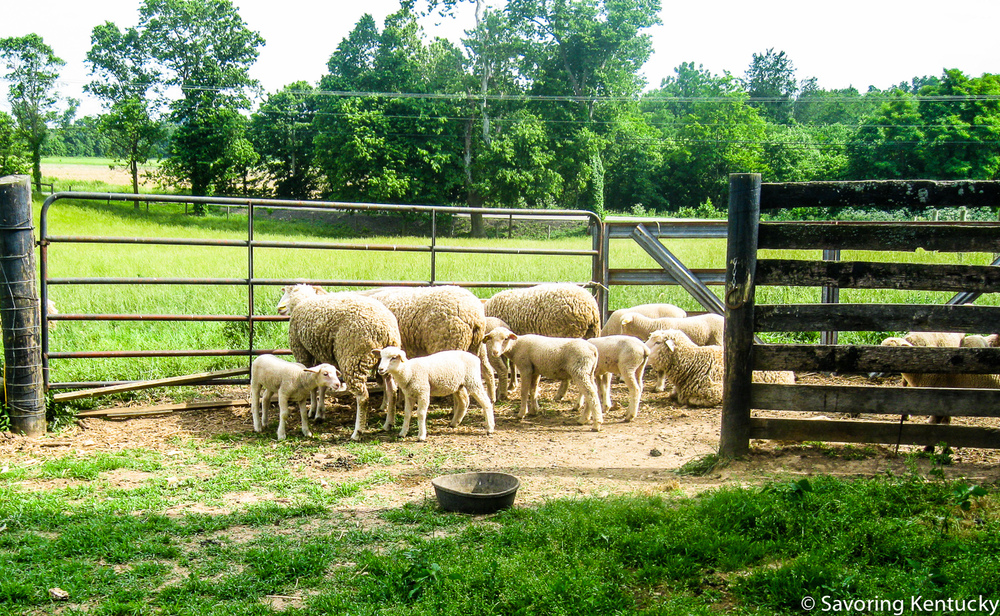 Sheep and lambs at Elmwood Stock Farm, Scott County, Kentucky.
