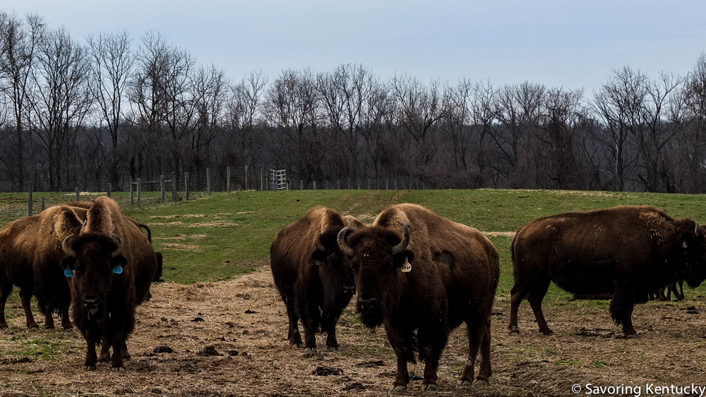 Woodland Farm American bison