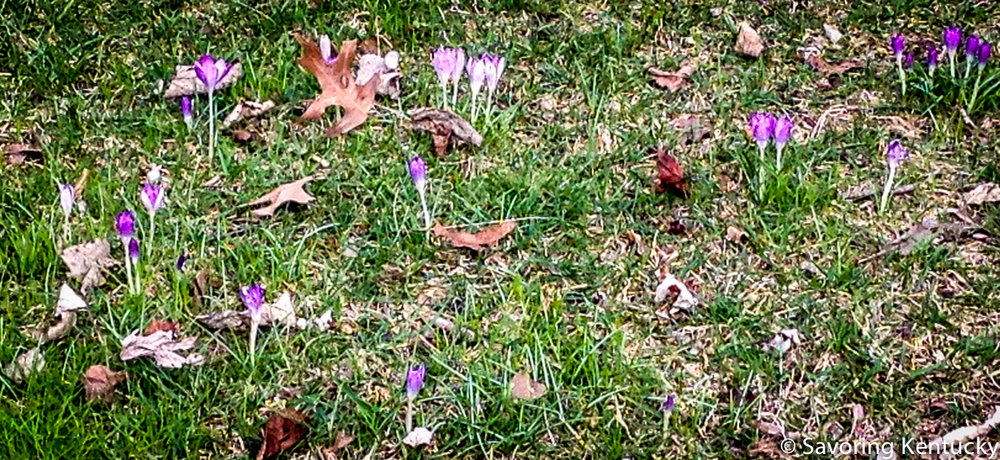 Spring crocuses on N. Martin Luther King Boulevard, Lexington, Kentucky, January 31, 2017