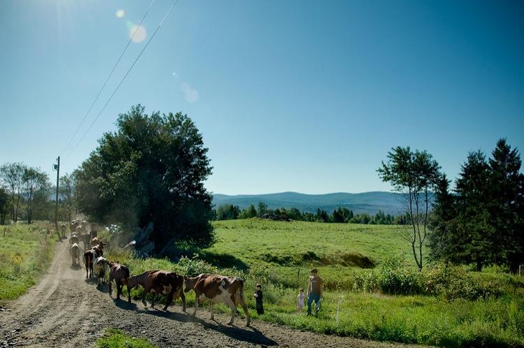 Cows_JLeeds_web.jpg