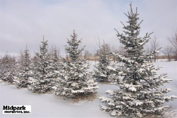 580_Hoopsii_Colorado_Spruce_8ft_SemiNatural.jpg