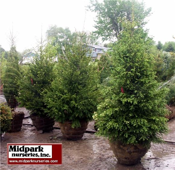 580_Norway_Spruce_s-s_10ft_w.jpg