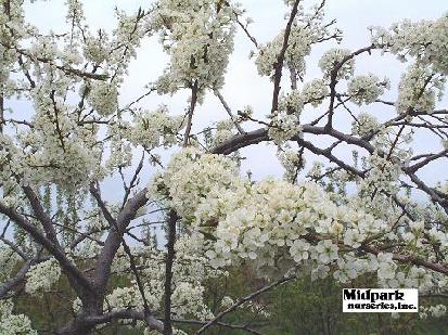 413_SuperioEdiblerPlum_closeflower_04_0501w.jpg