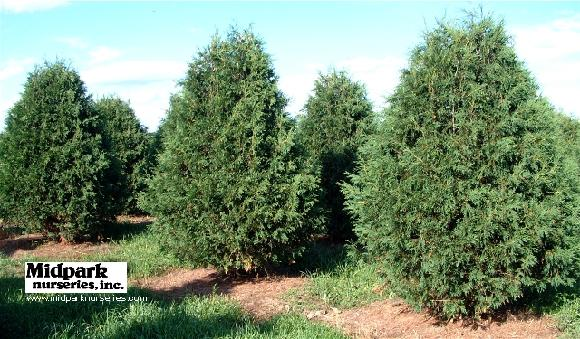 Techney Arborvitae 8-9' height