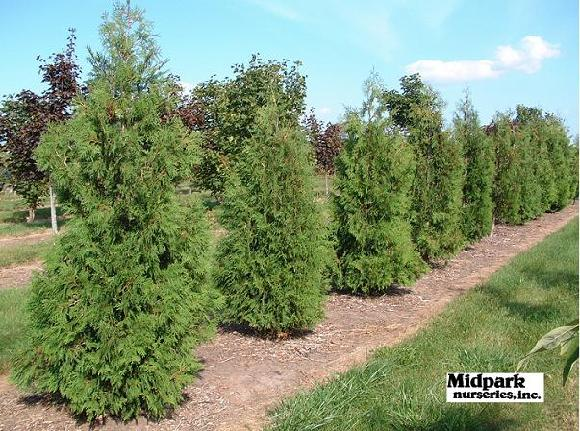American Arborvitae 6-7' & 7-8' height