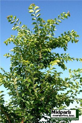 270_TriumphElm_foliage_05_0708_w.JPG