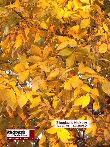 362_Shagbark_Hickory_foliage_05_1028.JPG