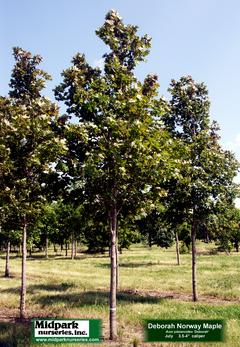 "Acer platanoides cv ...Deborah Norway Maple ...3.5-4"" dia cal ...Late July"