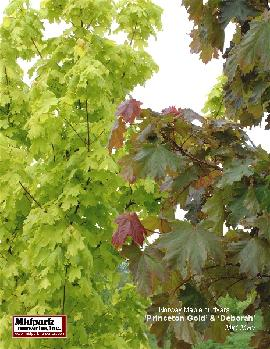 Acer platanoides cvs ...Princeton Gold (left) & Deborah (right) Foliage ...Late May