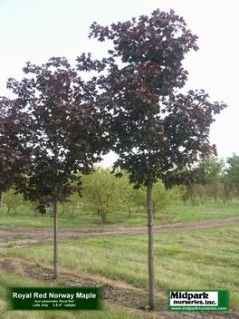 "Acer platanoides cv Royal Red ...3.5-4"" dia cal ...Late July"