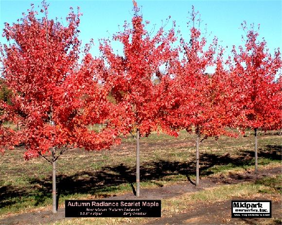 "Acer rubrum cv Autumn Radiance Maple ...3-3.5"" & 3.5-4"" dia cal ...Mid October"
