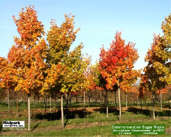 "Commemoration Sugar Maple 3-3.5"" & 3.5-4"" dia cal ...Late October"