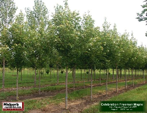 "Celebration Freeman Maple 2.5-3"" dia cal ...August"