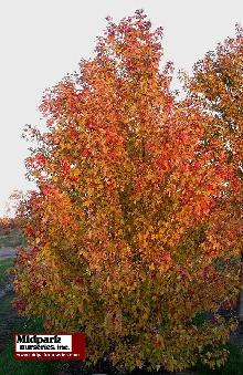 Marmo Freeman Maple multistem ...Late October