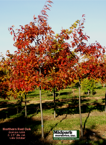 Quercus_rubra__2in_05_1029.png