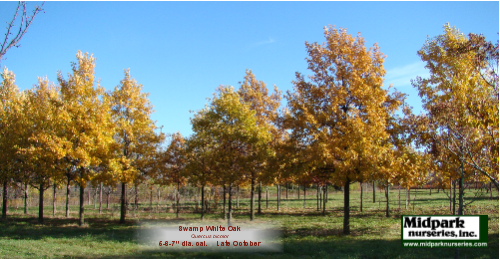 Quercus_bicolor_5to6to7in_13_1103.png