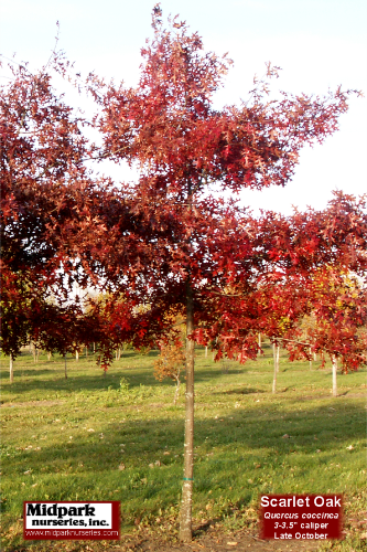 "...Quercus coccinea ...3-3.5"" dia cal ...Late October"
