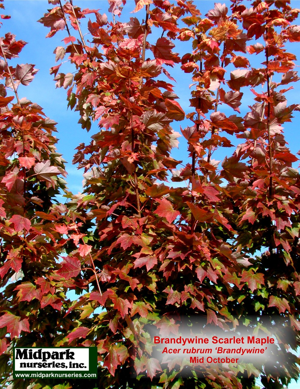 Brandywine Scarlet Maple