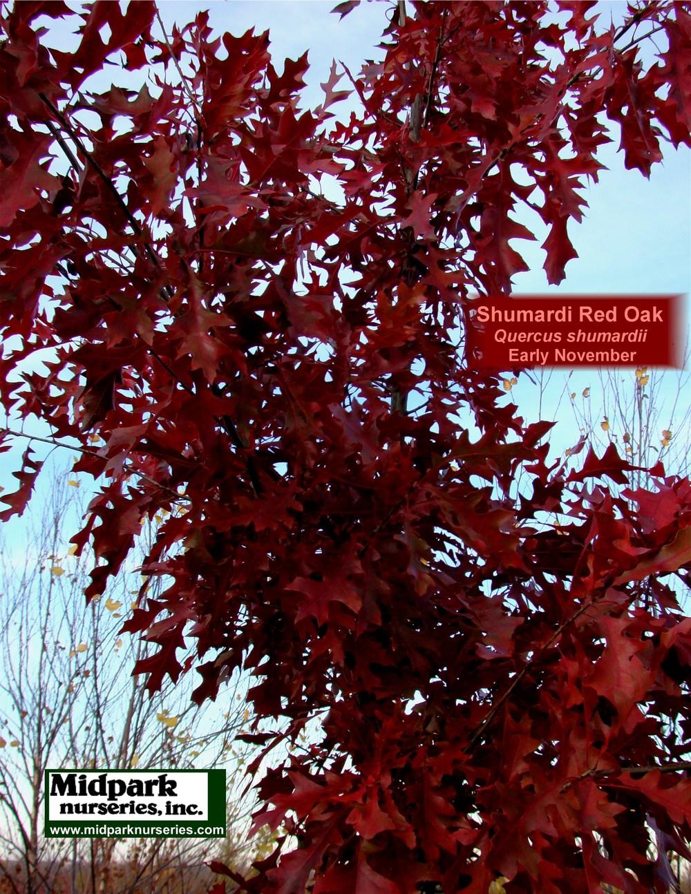 Shumardii_Oak_foliage_11_1107_8x11.jpg