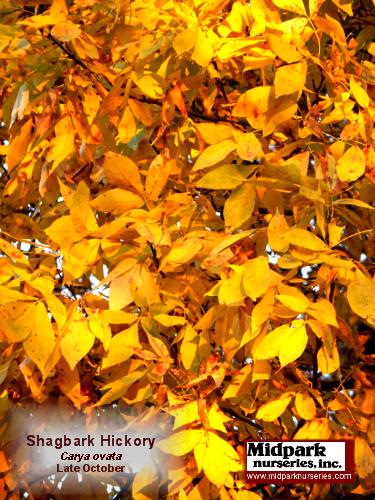ShagbarkHickory_foliage_05_1028.png