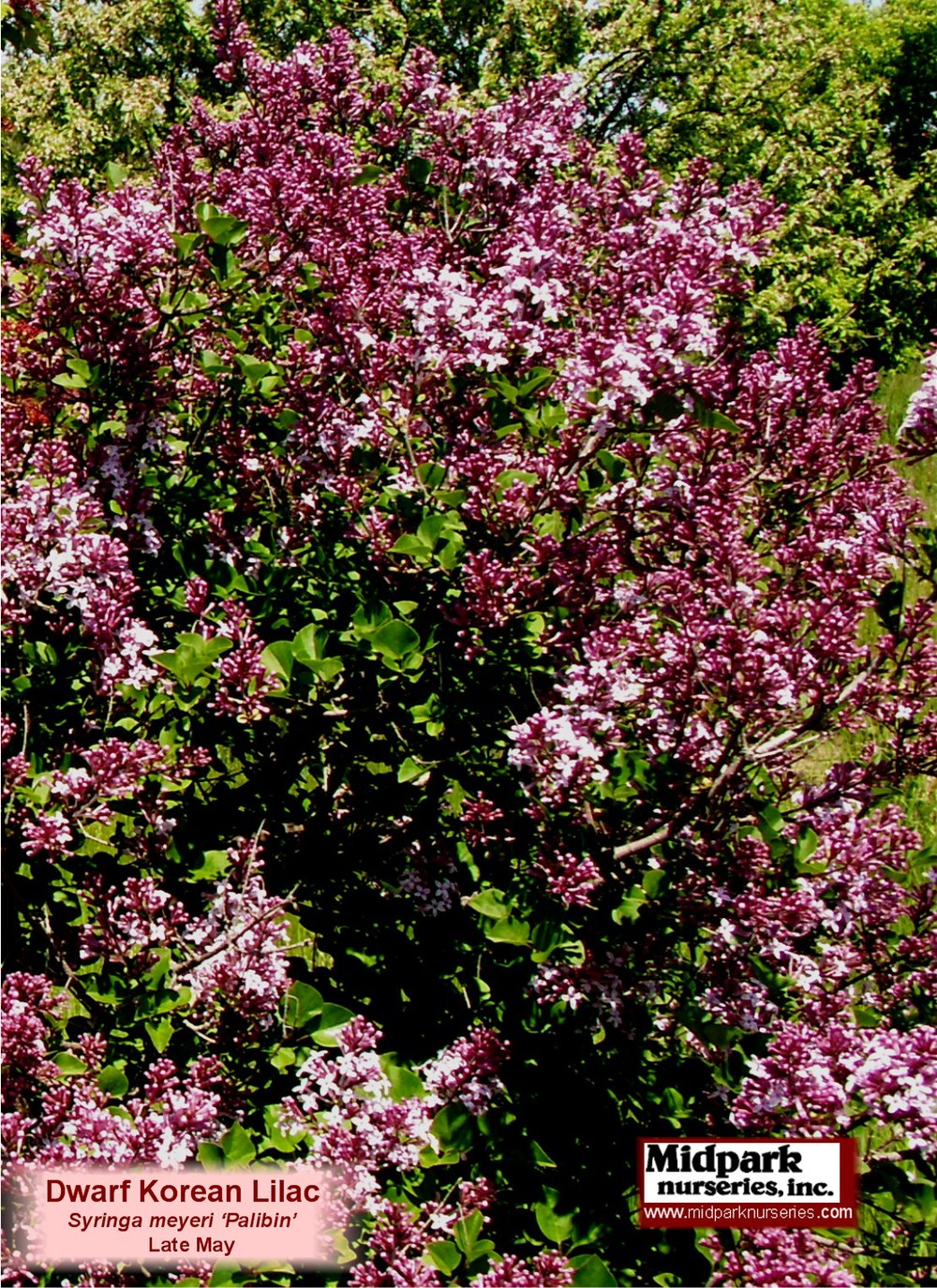 DwarfKoreanLilac_08_0601_close_8x11.jpg