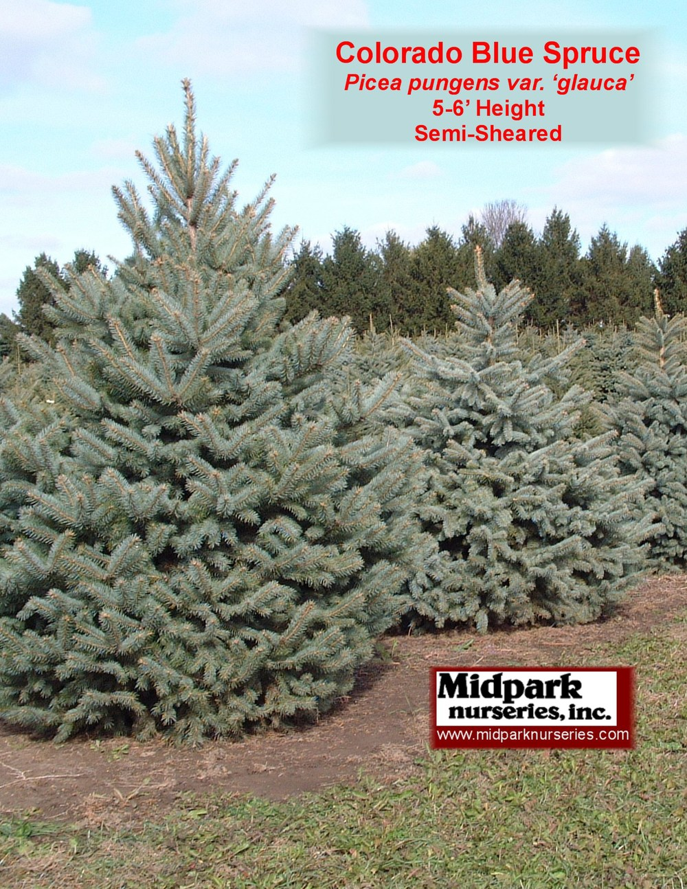 Colorado_Blue_Spruce_6ft_SS_02_1027_8x11.jpg
