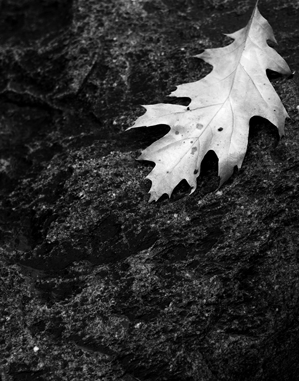 Leaf-On-Rock,-Wirth-Park,-M.jpg