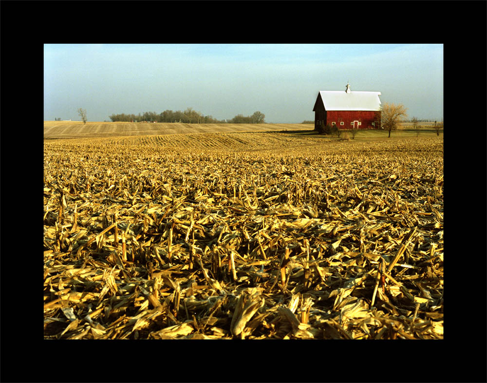 Red Barn Gold Corn_web.jpg
