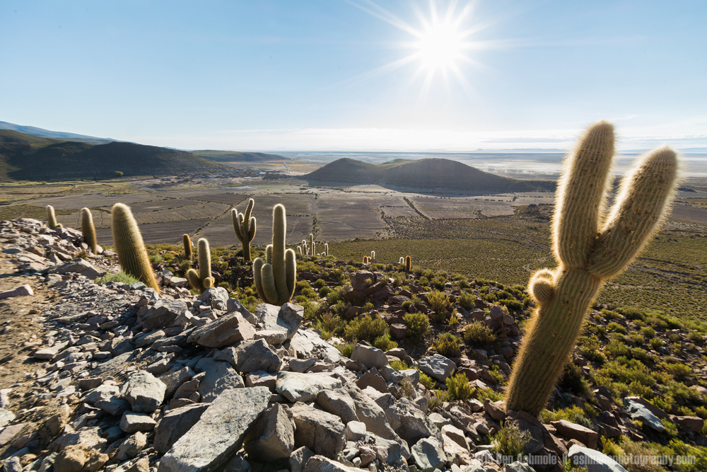 Cactus In the Desert Sun, Bolivian Highlands
