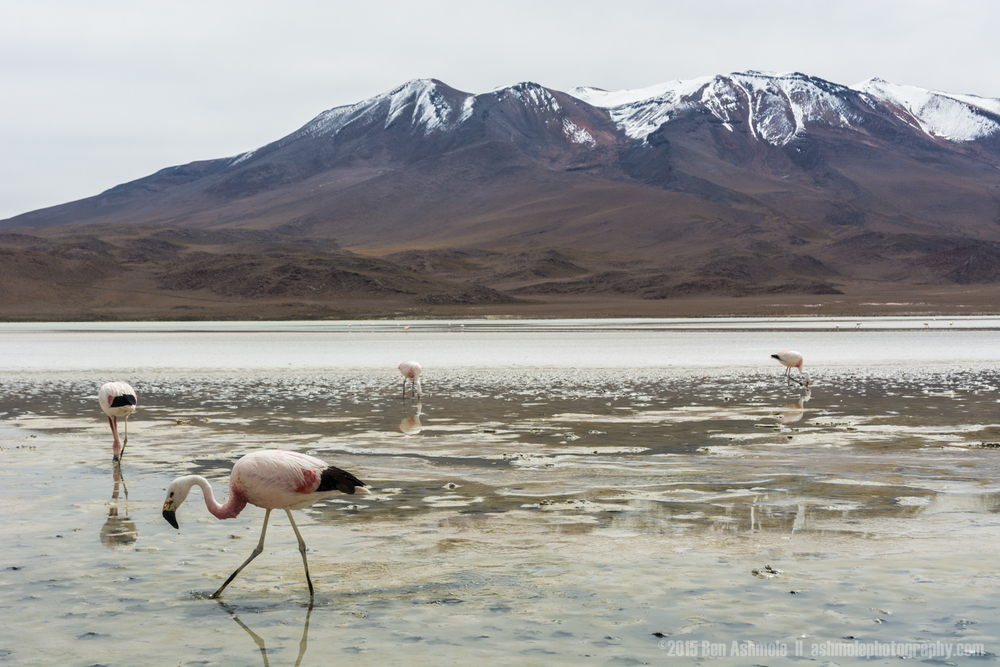 Lake Flamingos, Lake Chiar Kota, Bolivian Highlands