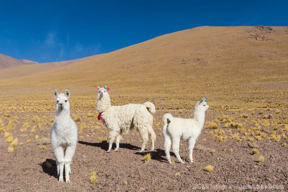 Inquisitive Llamas, Bolivian Highlands