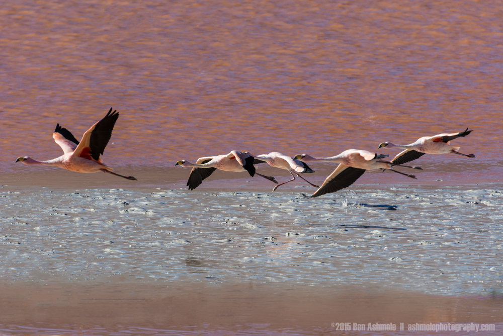 Flamingos In Flight, Lago Colorada, Bolivian Highlands