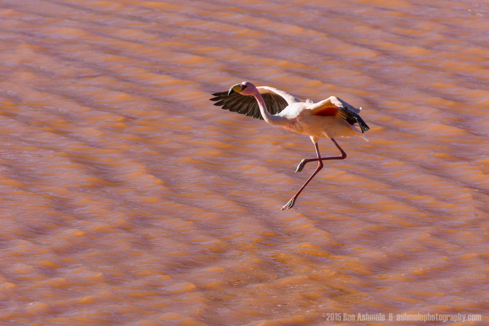 Landing Flamingo, Lago Colorada, Bolivian Highlands