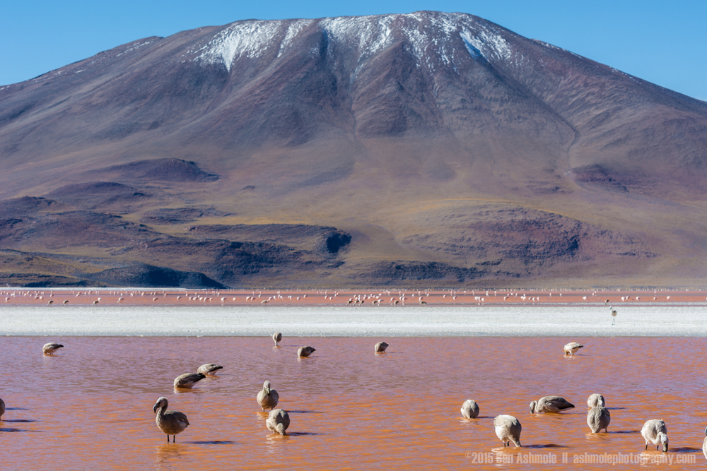 Feeding Flamingos, Lago Colorada, Bolivian Highlands