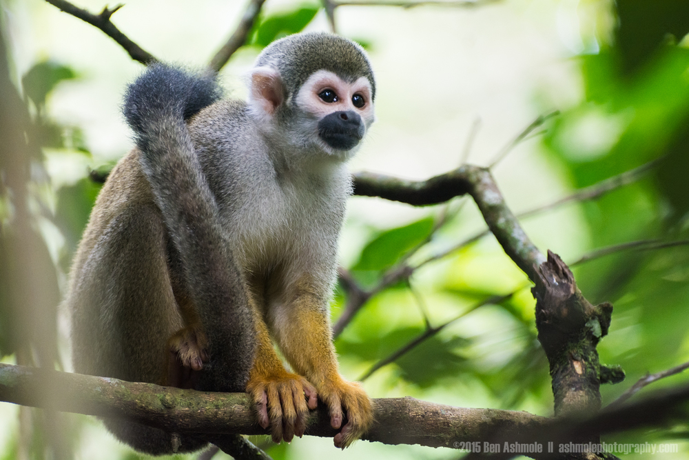 Squirrel Monkey, Amazon Rainforest, Tena, Ecuador