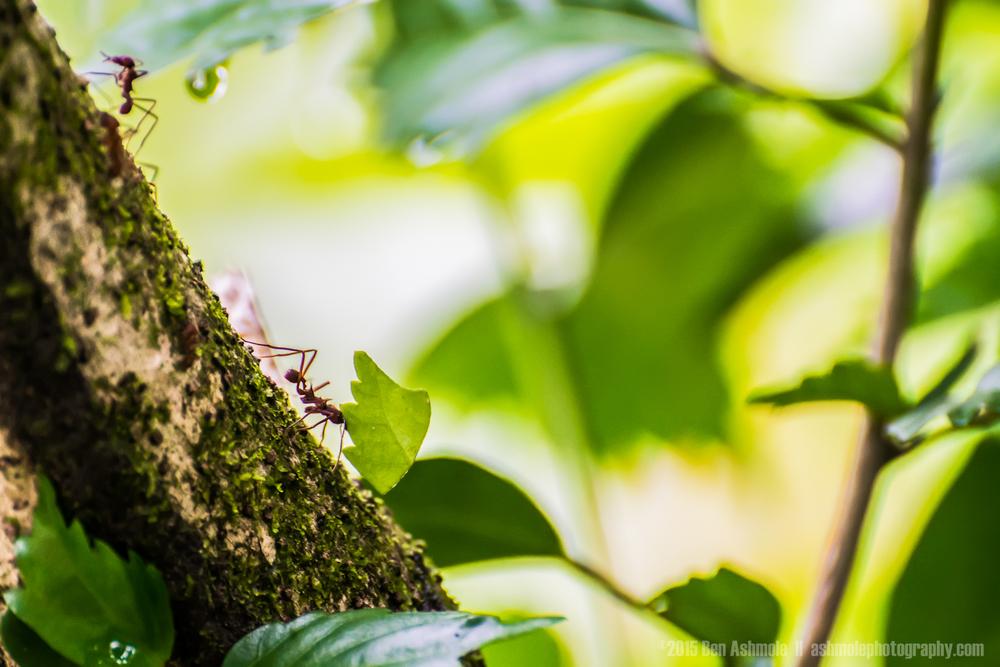 Amazonian Ants, Ecuador