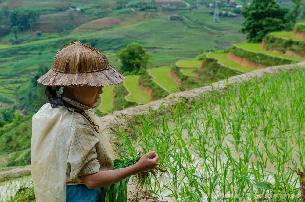 Rice Harvesting, Sapa, Vietnam, Ben Ashmole