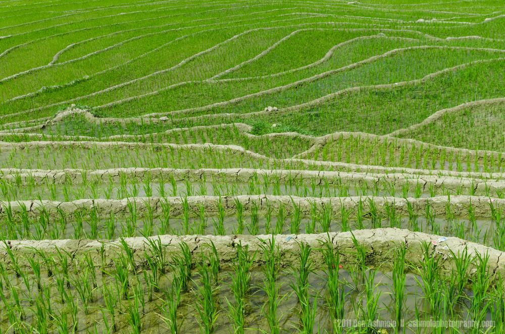 Rice Terraces in Bloom, Sapa, Vietnam, Ben Ashmole