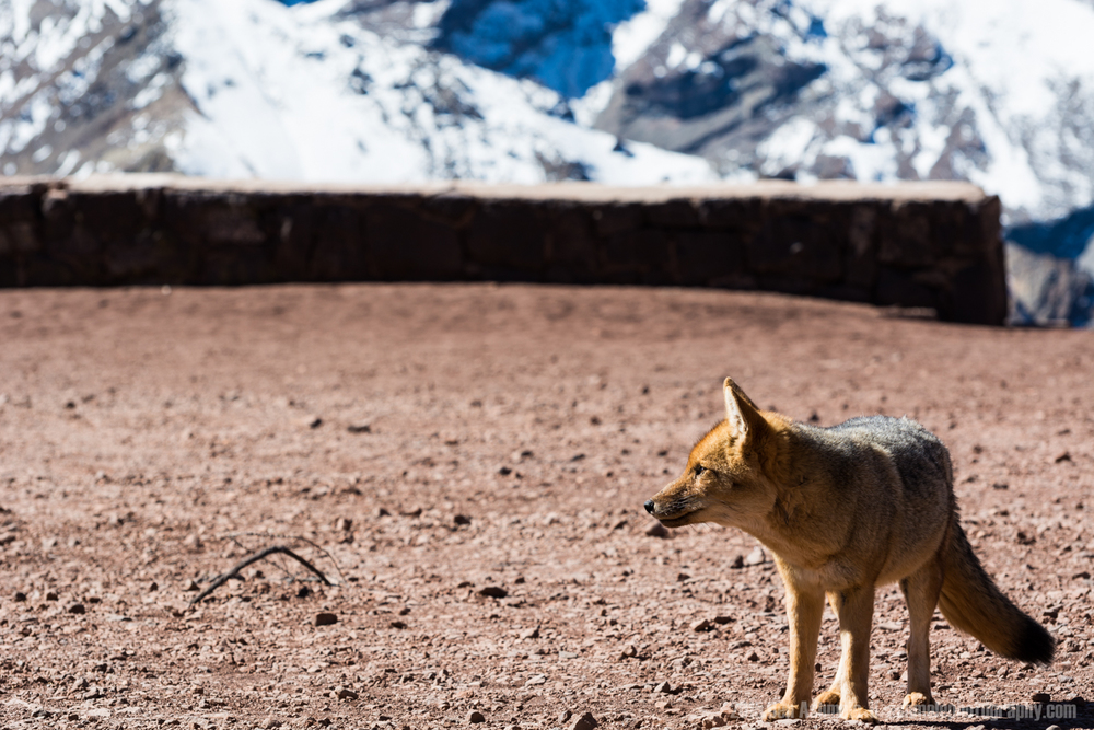 Andean Fox, Andes Mountains, Mendoza, Argentina