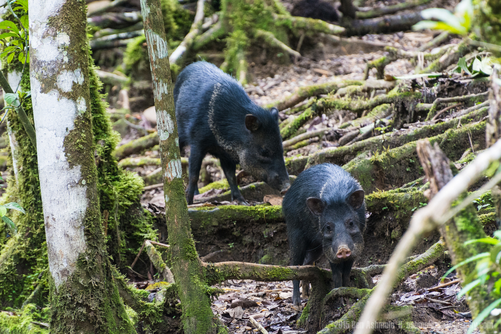 Peccaries, Amazon Rainforest, Tena, Ecuador
