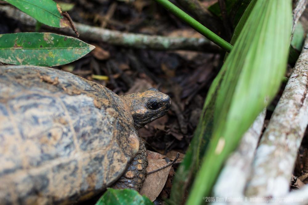 Tortoise, Amazon Rainforest, Tena, Ecuador